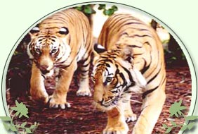 Pench Tiger India